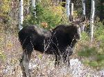 Bull moose in Paradise Valley
